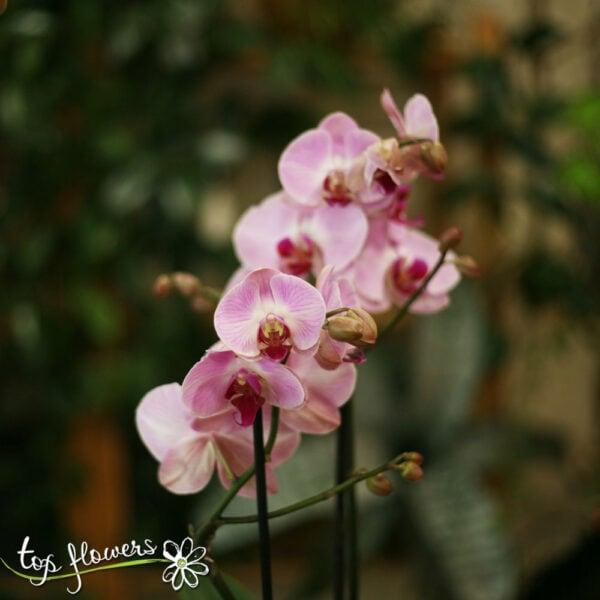 Орхидея Фалаенопсис