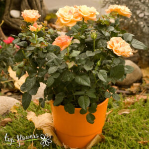 Градинска Роза
