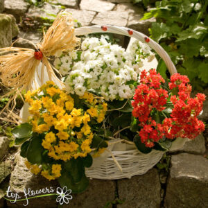 Basket with Kalanchoe