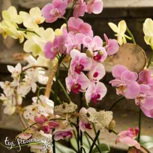 Orchid Falaenopsis | Mix for connoisseurs