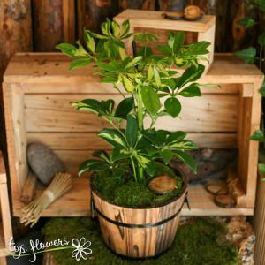 Schefflera /Umbrella Plant/
