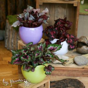 Begonia Rex | Different species