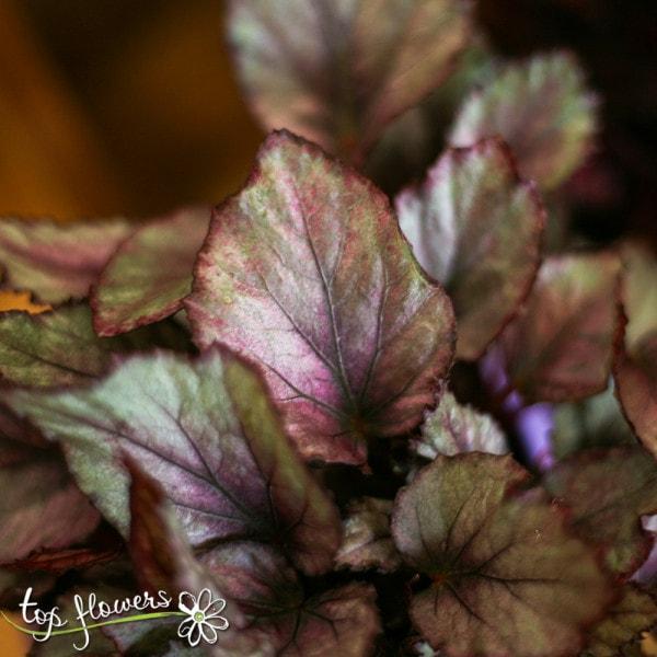 Begonia Rex   Different species
